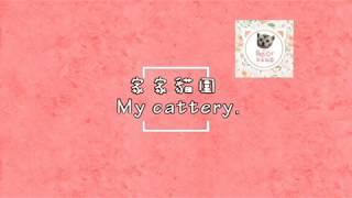 Q&A⚡如何挑選美短幼貓⚡