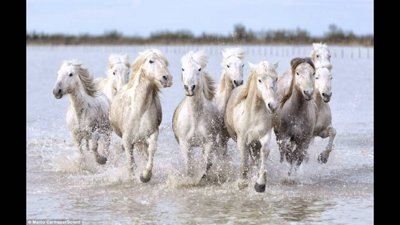 The real-life unicorns: Magical shots of wild white horses racing through French marshes at ...