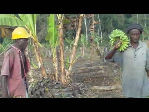 AgriLiberia plantain plantation Weafuah, Bomi county, Liberia.