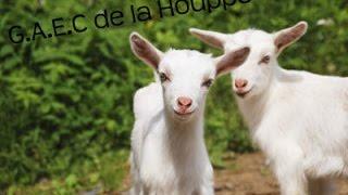 Elevage de chèvres au G.A.E.C de la Houppe