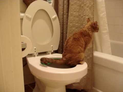 Devon Rex Toilet Training