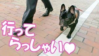 フレンチブルドッグの子犬ココです。 最近は気温が高くなるのが早いので...