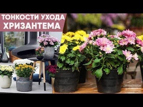 Хризантемы! Посадка и уход | Все в сад