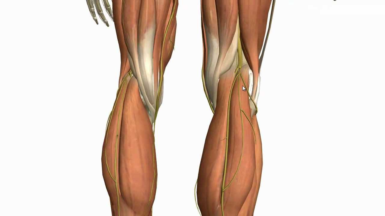 Muscles of the Leg - Part 2 - Anterior and Lateral Compartments ...