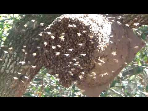 Flower pot bucket swarm traps caught two bee swarms at the same time