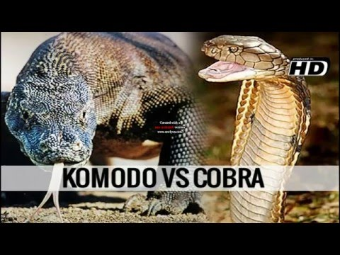 Komodo Dragon Attacks | Komodo Dragon vs King Cobra ...