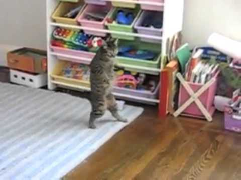 Cats Standing and Walking on Two Legs
