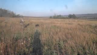Охота на перепела в Запорожской области(, 2012-10-31T17:15:28.000Z)