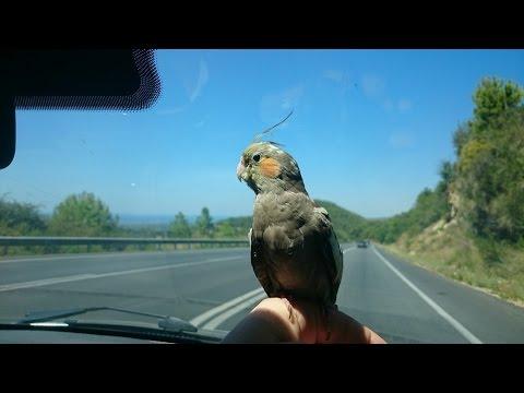 Evcil Sultan Papağanı ile Yolculuk Yapmak