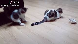 Cats Video On Tiktok