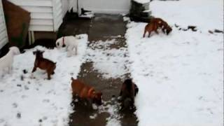 Boxer Puppies In The Snow