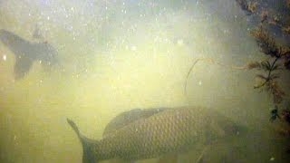 Подводная охота: Подводная охота видео. (Сазан). KiselevSA