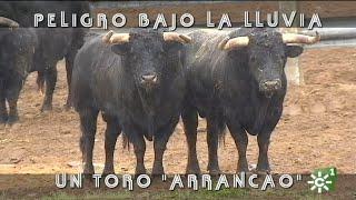 PGM 486 Toros PELIGRO BAJO LA LLUVIA  MANOLO CARO