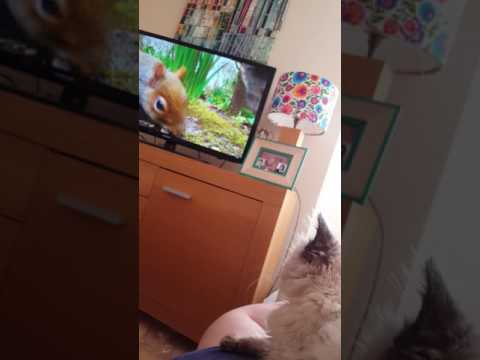 Gigi the ragdoll is watching her favourite Cat TV