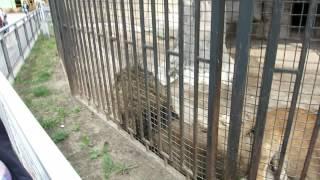 Ой толстые львицы в минском зоопарке.(группа вконтакте: http://vk.com/pgshelp1 сайт: https://sites.google.com/site/na5balov заказать работу: ..., 2014-07-23T16:20:25.000Z)