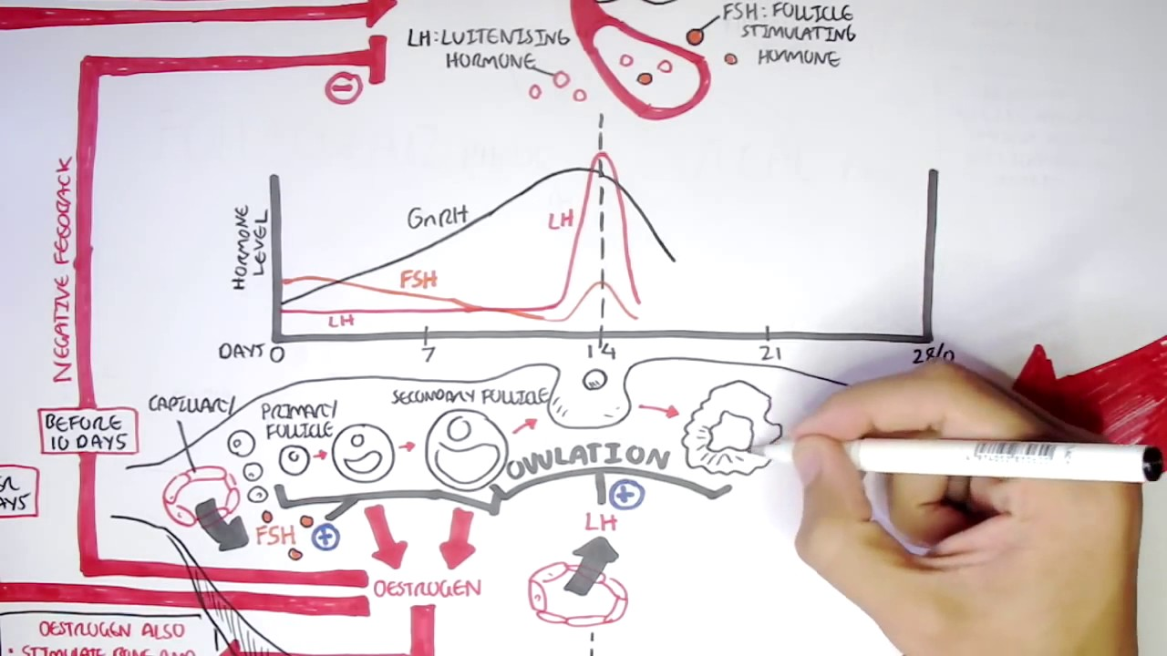 Female Reproductive System Menstrual Cycle  Hormones And Regulation
