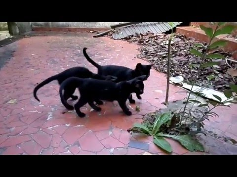 Funny black kittens playing fight - part 4