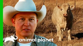 Carefully Guiding A Huge Stray Bull Back To The Ranch | Lone Star Law
