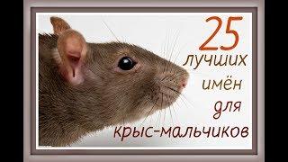 Клички имена для крыс  / Как назвать крысу мальчика / Домашние декоративные крысы