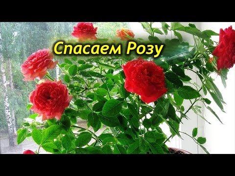 Как спасти розу в горшке после покупки от увядания