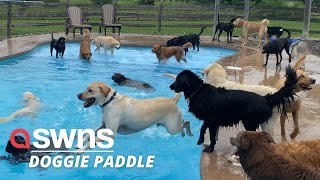 Adorable video shows 39 puppies leaping into a swimming pool to cool off on a hot day! | SWNS