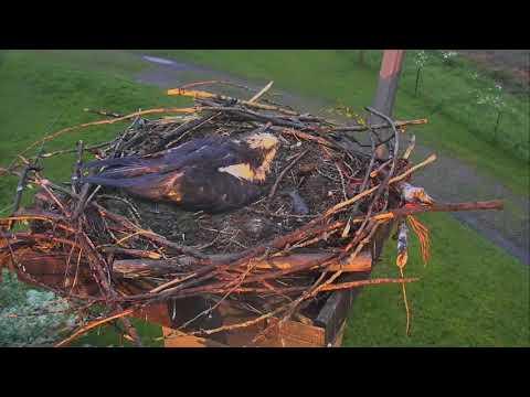 Osprey Nest - Charlo Montana Cam 06-16-2017 20:02:33 - 21:02:33