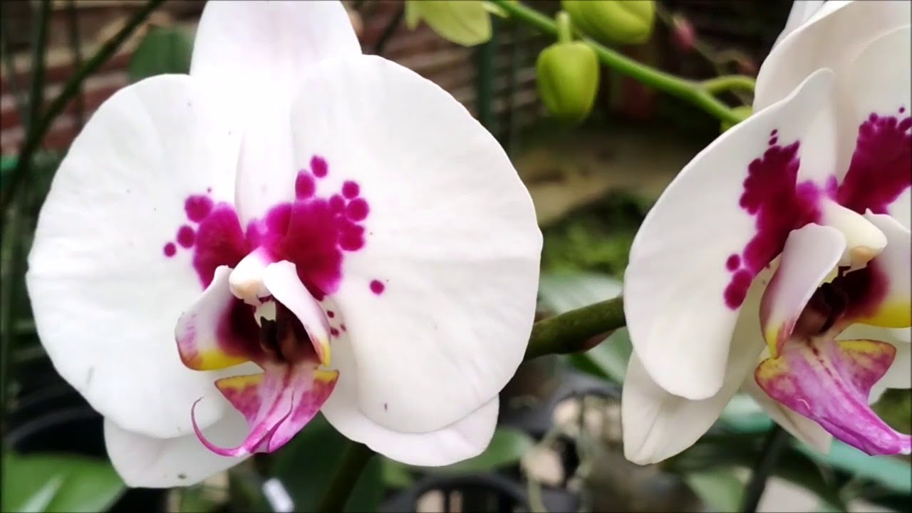 Wonderful orchid gallery 2018 beautiful orchid flowers youtube wonderful orchid gallery 2018 beautiful orchid flowers izmirmasajfo