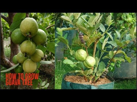 How to Grow guava tree Agri Buzz Technique
