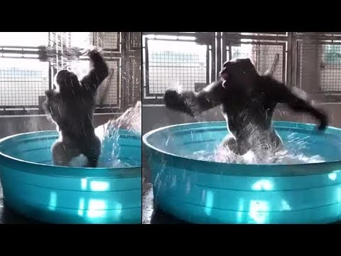 This dancing gorilla is breaking the Internet