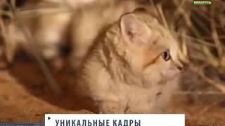 Ученые впервые сняли потомство барханного кота. Вокруг планеты