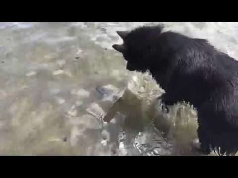 Schipperke dog meets a fish