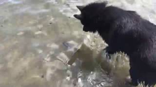 Schipperke dog meets a fish