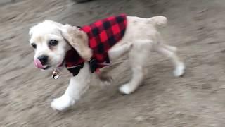 Puppy Runs In Slow Mo Cocker Spaniel  Munchie Falcor