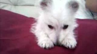 Westie Barking