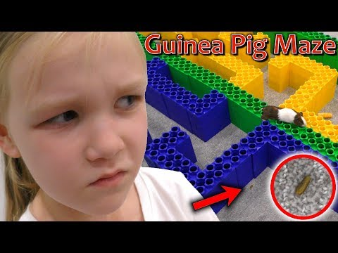 Escape The Giant Lego Maze Guinea Pig Race! Disqualified For Poo!!!