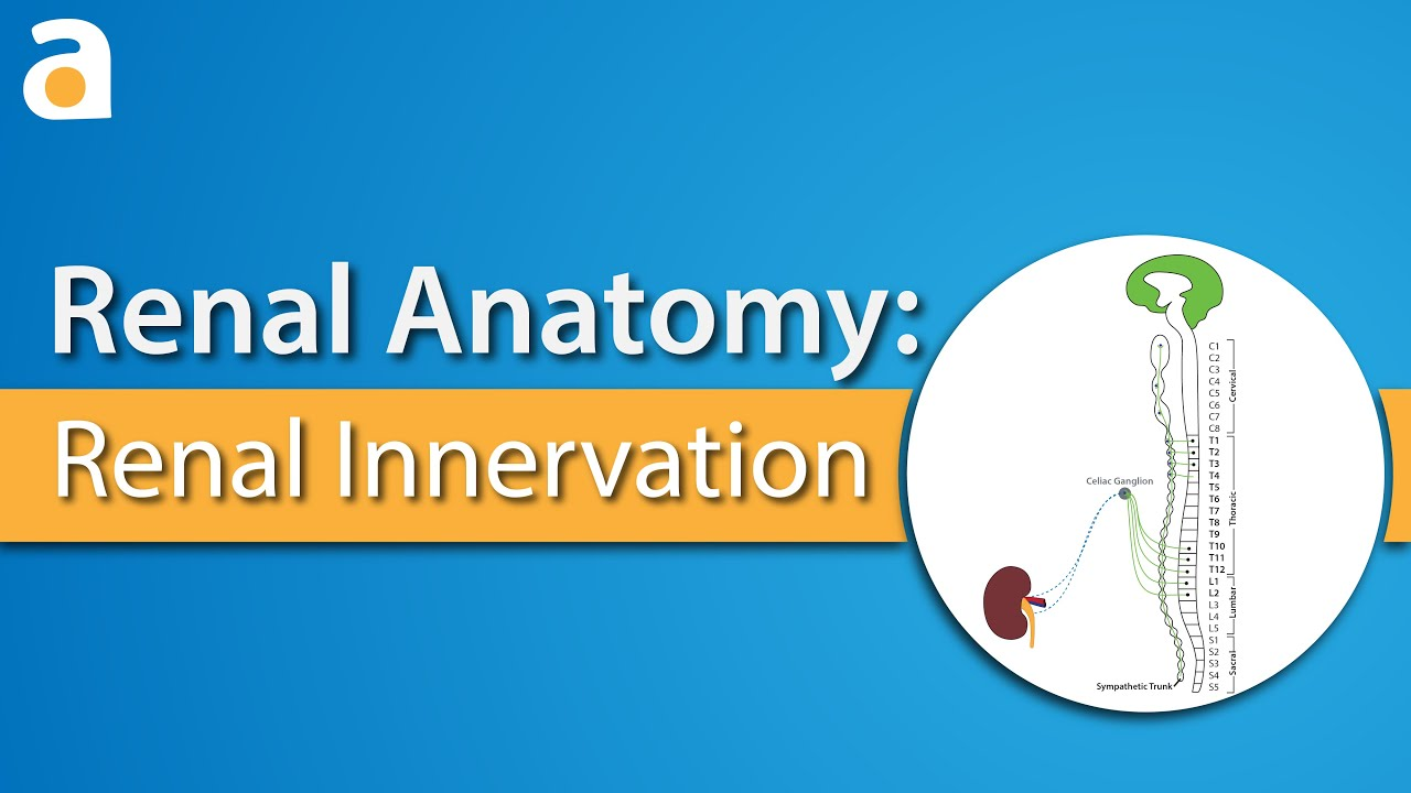 Renal Anatomy: Renal Innervation - YouTube