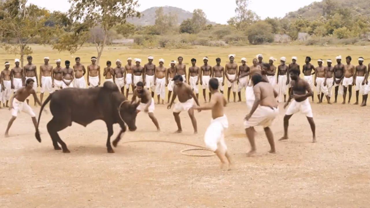 Download Ferocious Jallikattu Scene from Ilami showing the Intensity of Tradition    2016 Kollywood Movie