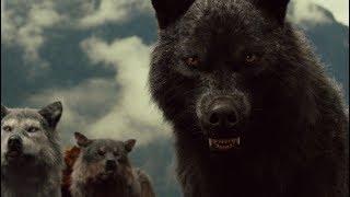 Черный волк.  Хищник - одиночка.  Документальный фильм