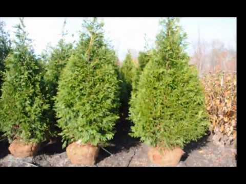 Crecemos tuya y otros rboles de detecci n doylestown for Arboles para cierre de jardin