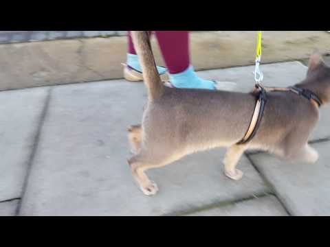 walking abyssinian :)