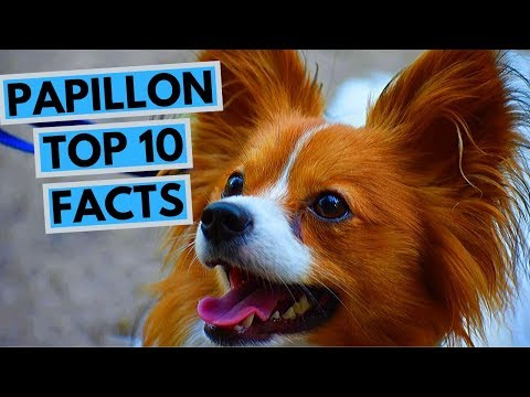 Papillon - TOP 10 Interesting Facts