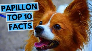 Papillon  TOP 10 Interesting Facts