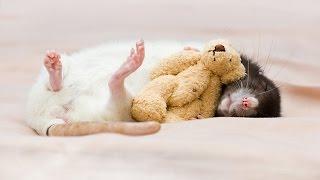 Декоративные домашние крысы  Спокойной ночи