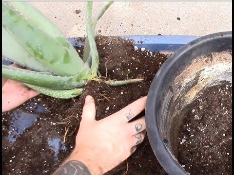 Листовая капуста (кале, кейл, kale) ранней весной - YouTube