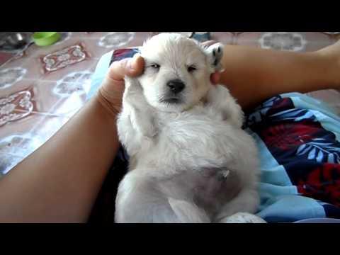 ลูกหมาทิวลิปนอนหลับน่ารักมากได้อายุ25วันชื่อเล่นทิวลิปครับน่ารัก