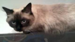 Невский маскарадный кот дома играет в туалете
