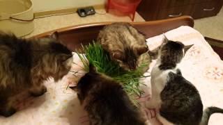 Коты и кошки едят овес.