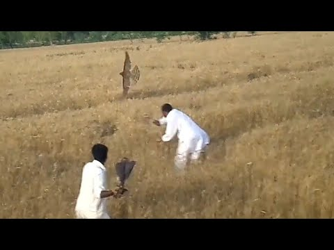 Incredible Attack Of Goshawk, Falconry And Hunting In Pakistan