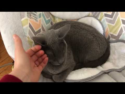 Baby loves the Russian Blue cat