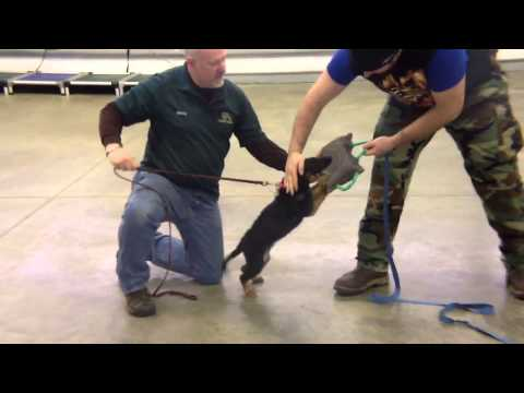 German Shepherd Obedience Protection Training 'Reagan' For Sale